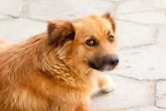 Sguardo del cane Fotografia Stock Libera da Diritti