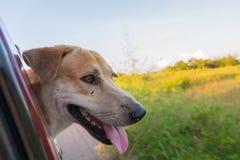 Sguardo del cane immagine stock