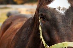 Sguardo del cavallo di Brown Immagine Stock