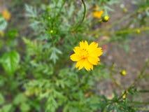 Sguardo del fiore giallo indiano così fresco Fotografia Stock