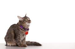 Sguardo del gatto Fotografia Stock Libera da Diritti