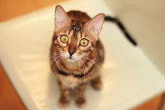 Sguardo del gatto del Bengala voi Fotografie Stock Libere da Diritti