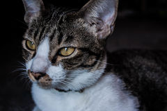 Sguardo del gatto dell'Asia fuori dalla casa Fotografia Stock