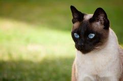 Sguardo del gatto siamese Fotografie Stock Libere da Diritti