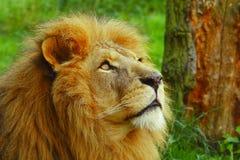 Sguardo del leone Fotografia Stock Libera da Diritti