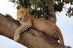 Sguardo del leopardo fotografia stock libera da diritti