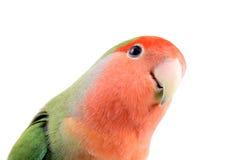 Sguardo del Lovebird Immagini Stock