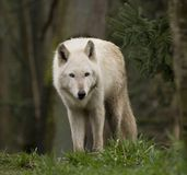 Sguardo del lupo Immagini Stock Libere da Diritti
