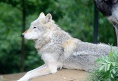 Sguardo del lupo immagini stock