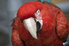 Sguardo del Macaw alato verde Fotografie Stock Libere da Diritti