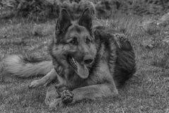Sguardo del pastore tedesco fotografia stock libera da diritti
