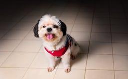 Sguardo del piccolo cane immagine stock libera da diritti