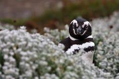 Pinguino di Magellanicus Fotografie Stock Libere da Diritti