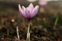 Sguardo del primo piano del fiore del croco di zafferano immagini stock libere da diritti