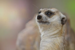 Sguardo del ritratto di suricatta del Suricata di Meerkat alla macchina fotografica Immagini Stock Libere da Diritti