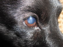 Sguardo del sole dell'occhio del cane nero Fotografie Stock Libere da Diritti