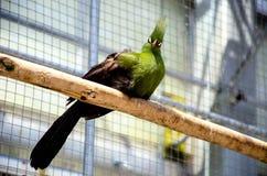 Sguardo del Turaco della Guinea Fotografie Stock Libere da Diritti