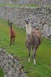 Sguardo dell'alpaca Fotografie Stock