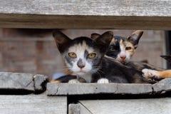 Sguardo dell'animale domestico del gatto Immagine Stock
