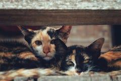 Sguardo dell'animale domestico del gatto Immagini Stock