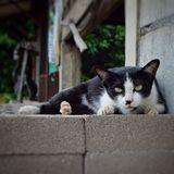 Sguardo dell'animale domestico del gatto Fotografia Stock Libera da Diritti