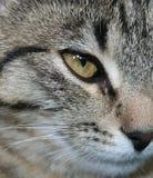 Sguardo dell'occhio di gatto Fotografia Stock