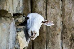 Sguardo della capra Fotografie Stock