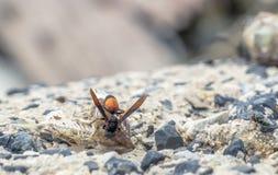 Sguardo della mosca alla vespa che mangia la carcassa del ` s del pesce Fotografie Stock