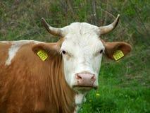 Sguardo della mucca Immagini Stock