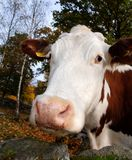 Sguardo della mucca Fotografie Stock