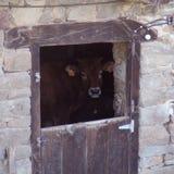 Sguardo della mucca Immagine Stock