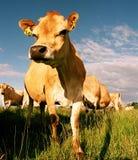 Sguardo della mucca da latte Fotografie Stock