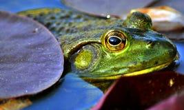 Sguardo della rana? Immagini Stock Libere da Diritti