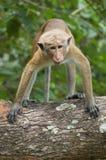Sguardo della scimmia Fotografia Stock