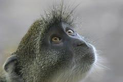 Sguardo della scimmia fotografie stock libere da diritti