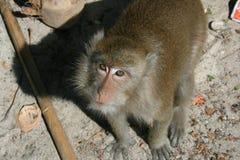 Sguardo della scimmia Fotografie Stock