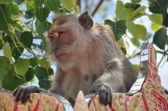 Sguardo della scimmia, la Tailandia Fotografie Stock Libere da Diritti