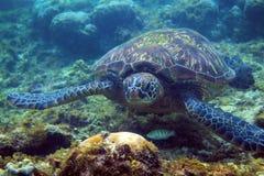Sguardo della tartaruga verde in camera Primo piano subacqueo della tartaruga di mare Animale oceanico in natura selvaggia Foto d fotografie stock