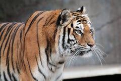 Sguardo della tigre siberiana (altaica del Tigri della panthera) Fotografie Stock Libere da Diritti