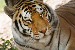 Sguardo della tigre siberiana (altaica del Tigri della panthera) Fotografie Stock