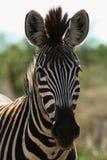 Sguardo della zebra Immagine Stock