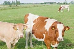 Sguardo delle mucche Fotografie Stock