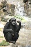 Sguardo dello scimpanzè Fotografia Stock