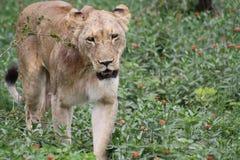 Sguardo di camminata del primo piano della leonessa africana Fotografia Stock Libera da Diritti