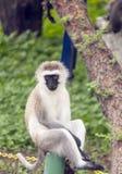 Sguardo di seduta del babbuino Fotografie Stock Libere da Diritti