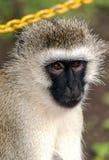 Sguardo di seduta del babbuino Fotografia Stock Libera da Diritti