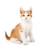 Sguardo di seduta del gattino arancio e bianco in avanti Fotografia Stock