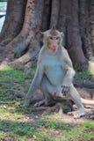 Sguardo di seduta della scimmia Fotografia Stock