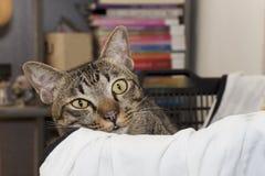 Sguardo di sguardo fisso del gatto Fotografie Stock