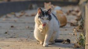 Sguardo diabolico del gatto immagine stock